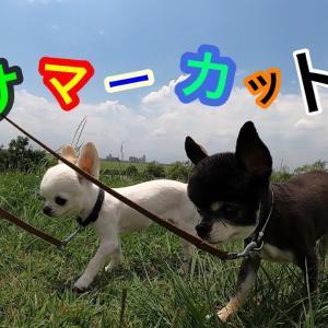 愛犬チワワの可愛い サマーカット🐶 🐨 #犬動画 #かわいい犬 #わんこ