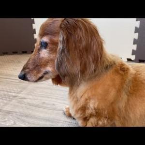 老犬あるある?無限くるくるの実態 ミニチュアダックスフンド #犬動画 #かわいい犬 #わんこ