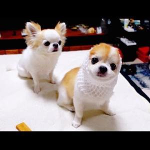 老犬チワワが想像も出来ないまさか!の行動に笑いが止まりませんでしたw【funny dog】 #犬動画 #かわいい犬 #わんこ