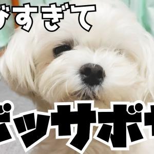【ボサボサ】袋に入って遊んでいたら突然パパが帰宅して大喜びする犬が最高にかわいい【マルチーズ】 #犬動画 #かわいい犬 #わんこ