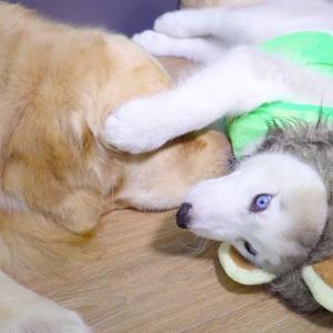ライオンになったハスキーがゴールデンレトリバーにドッキリ・可愛いハスキーとゴールデンレトリバー #犬動画 #かわいい犬 #わんこ