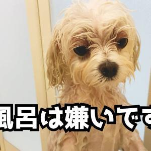 お風呂嫌いのマルチーズをお家でシャンプーしたら謎の生き物になりました【かわいい】 #犬動画 #かわいい犬 #わんこ