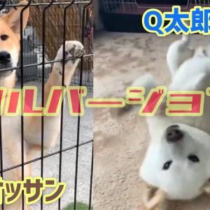 茶たオッサンとQ太郎の笑いと可愛いの2本立て!フルバージョンでどうぞ #犬動画 #かわいい犬 #わんこ