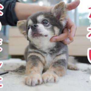 かわいくなったシニアのチワワ @Lovely Grooming #犬動画 #かわいい犬 #わんこ