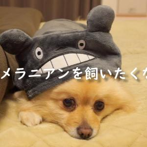 この動画を見ると120%ポメラニアンを飼いたくなります【可愛いまとめ】 #犬動画 #かわいい犬 #わんこ