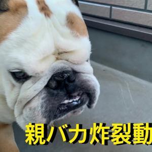 ウチのブルドッグがめちゃくちゃ可愛いから見て!! #犬動画 #かわいい犬 #わんこ