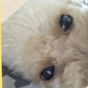 ベッドの下に頭突っ込んてる姿が可愛い❤️【トイプードルの🐕りん&のん】 #犬動画 #かわいい犬 #わんこ