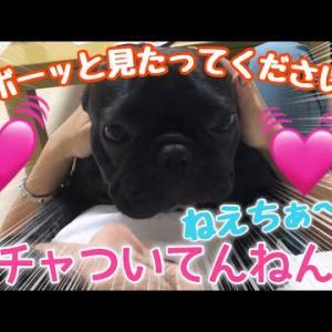 たまにしか会えない姉ちゃんに甘えるフレンチブルドッグがかわいすぎた【大好きな姉ちゃんと一緒】 #犬動画 #かわいい犬 #わんこ