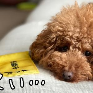 犬のoffモードやら甘えん坊モードw可愛い!【トイプードルそぼろ&ニコ】 #犬動画 #かわいい犬 #わんこ