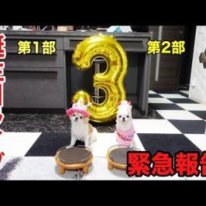チワワのティーナ誕生日LIVE&今すぐ確認して!動物保険のヤバ過ぎる値上げ!! #犬動画 #かわいい犬 #わんこ