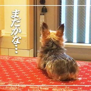 おかえり!お出迎えわんこ②【ヨークシャテリア】Yorkshire Terrier ヨークシャーテリア Yorkie #犬動画 #かわいい犬 #わんこ