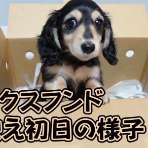 孤独な女の家にダックスフンドの子犬がやってきた!お迎え初日の様子 #犬動画 #かわいい犬 #わんこ