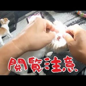 【閲覧注意】脂漏症(あぶら性)チワワの耳掃除をするとこんな感じです! #犬動画 #かわいい犬 #わんこ