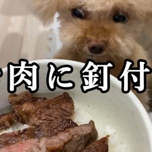 久々のお肉に大興奮する犬が可愛い過ぎるw【ティーカッププードル トイプードル teacup poodle】 #犬動画 #かわいい犬 #わんこ