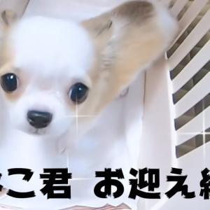 チワワのかわいい子犬をお迎えしました!【生後3ヶ月】 #犬動画 #かわいい犬 #わんこ