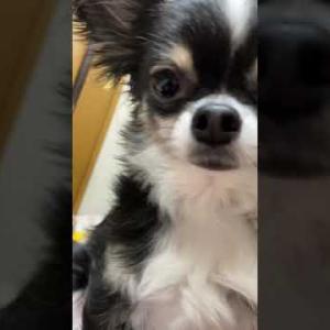 チワワのルゥちゃんは可愛いなぁ〜 #犬動画 #かわいい犬 #わんこ