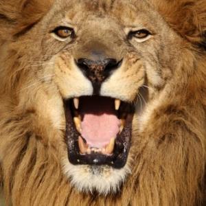密猟者が保護区のライオンに逆襲されバラバラに