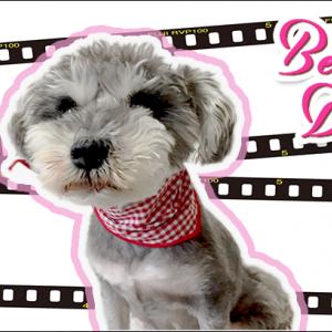 当店のモデル犬、ベルちゃんの日常♪ わんちゃん4コマ日記