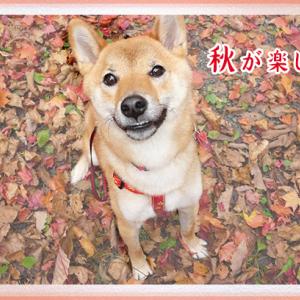 ようやく秋の装いの季節に。「犬用デニム襟のネクタイ」はいかがでしょうか?