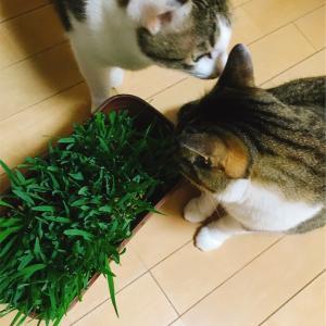 ネコ草が食べ頃になりましたニャン