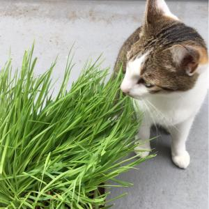 ネコ草は美味しい⁉️ニャン