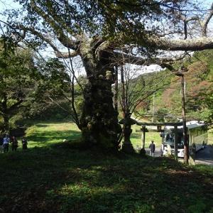 栃木・磯上の山桜