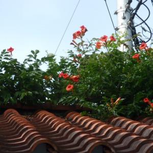 ノーゼンカズラの花を見る度に