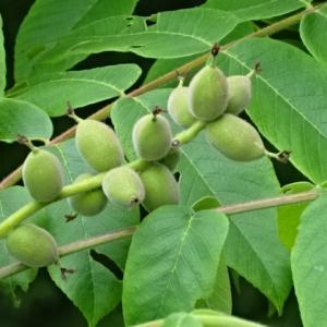 胡桃の木に実が