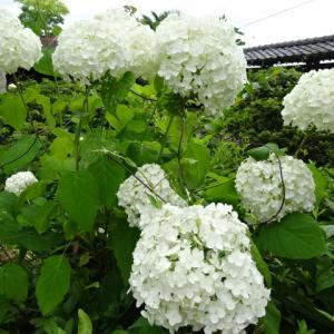 自宅庭の花