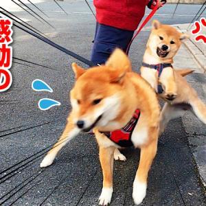 【柴犬・子犬】キレる子犬に動揺を隠せない柴犬 Angry Shiba Inu puppy and upset Shiba Inu