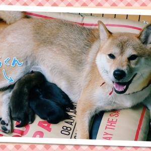【柴犬】遅ればせながらの母の日 Happy Mother's Day