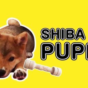 【柴犬・子犬】ドギーマン かみたい放題 Shiba Inu puppy and Wooden toy