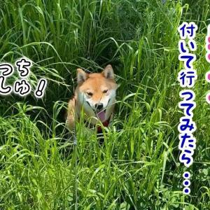 柴犬が行く先に付いて行ってみた! Where Shiba Inu goes!
