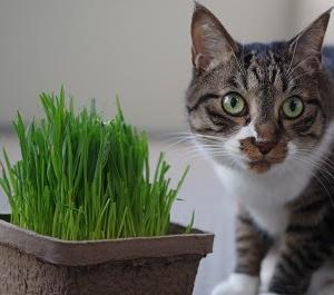 カインズの猫草