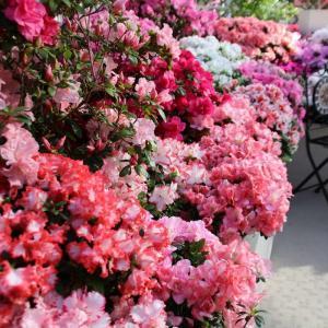 【新潟県立植物園】企画展示「にいがたの花 アザレア展」に行ってきました