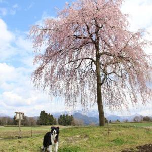 【三条市楢山集落】残雪の粟ヶ岳と楢山一本桜のある風景