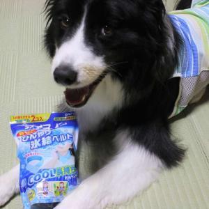 【犬の暑さ対策】人間用の「首もとひんやり氷結ベルト」が中型犬にジャストサイズで重宝しています
