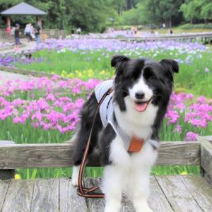 しらさぎ森林公園に咲く花菖蒲 三条市