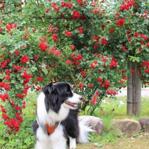 冬鳥越スキーガーデンに咲く初夏のバラたち2021 加茂市