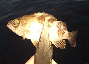 2/23 早朝釣り、リーズナブル胴突仕掛け。