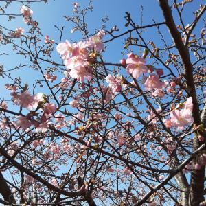 河津桜がもう咲いてる!