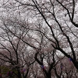 ・飛鳥山と上野の桜