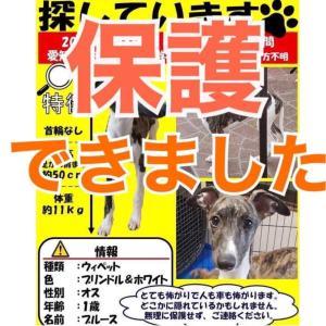 保護できました‼️ 愛知県知多市で迷子になっています。ウィペット捜索