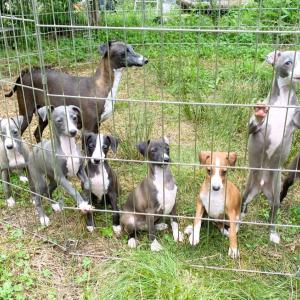 子犬の成長♪イタリアングレーハウンドの子犬たち