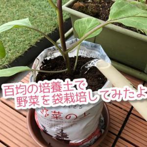 プランター不要!百均の培養土にそのまま野菜の苗を植えて育ててみたら…