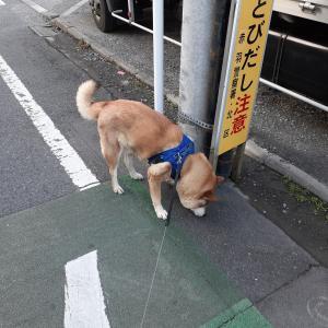 【四国犬】あさんぽ