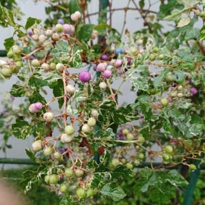 ノブドウの青い実