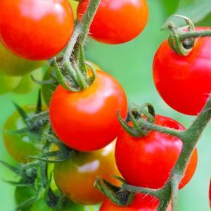 サントリー本気野菜_ミニトマトの植え付け