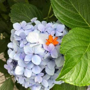紫陽花を見ると