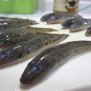 楽しかった江戸川放水路のボートハゼ釣り!結構いいサイズだったのでお刺身にもチャレンジ!
